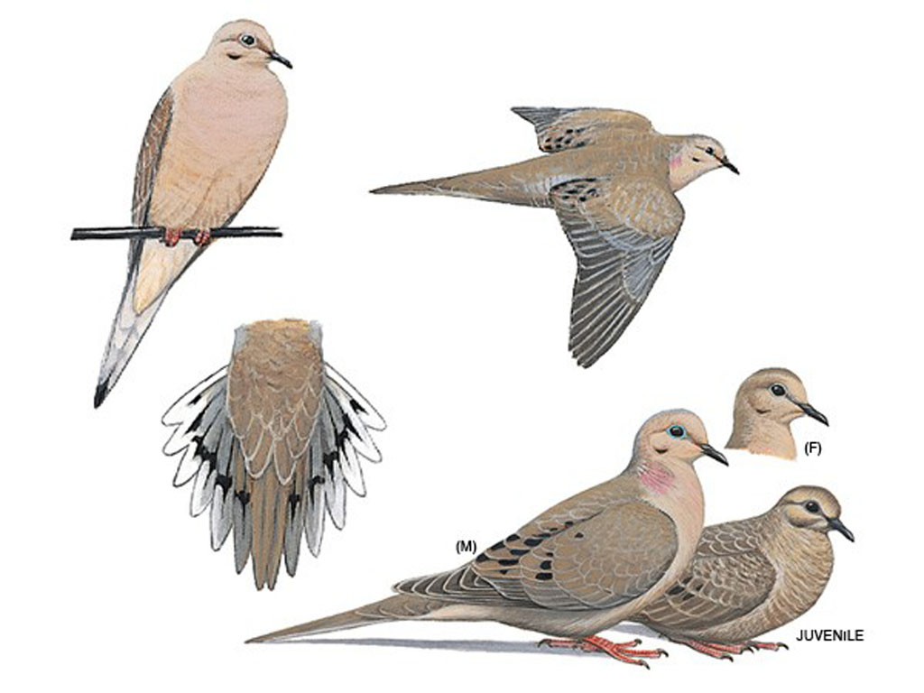 Common birds u city in bloom for Mourning dove tattoo