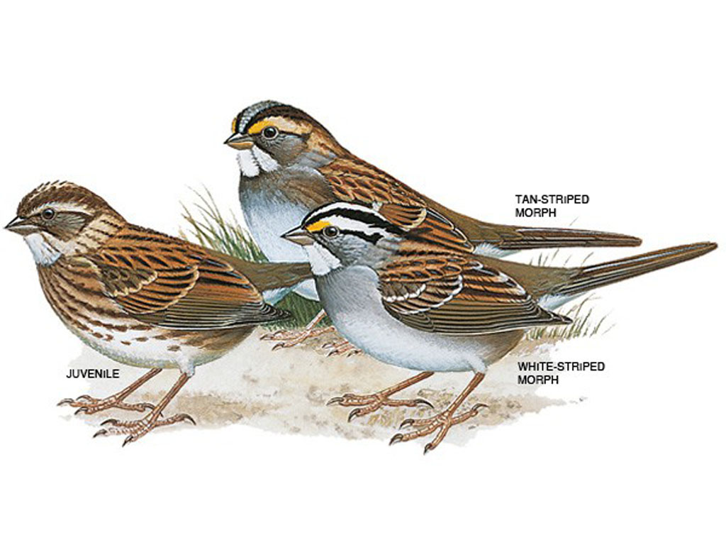 White-throated sparrows - U City In Bloom - photo#1